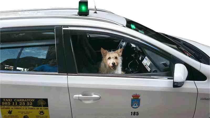 Flipa está como en casa en este taxi para perros